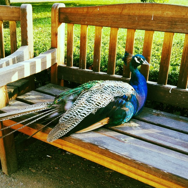 """Peacock on a bench"" stock image"