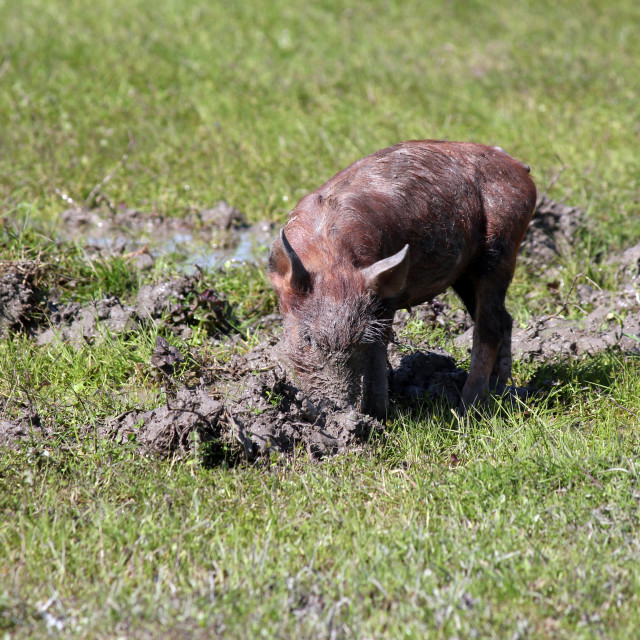 """""""little pig in a mud farm scene"""" stock image"""