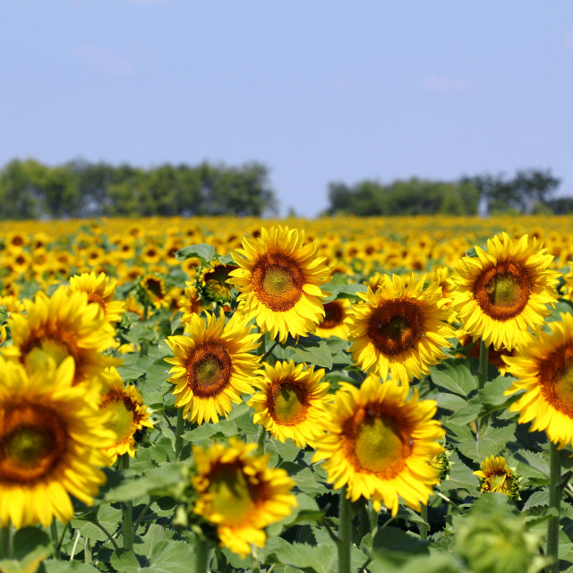 """bright sunflower field summer landscape"" stock image"