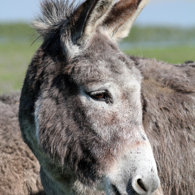 """donkey puts out a tongue portrait"" stock image"