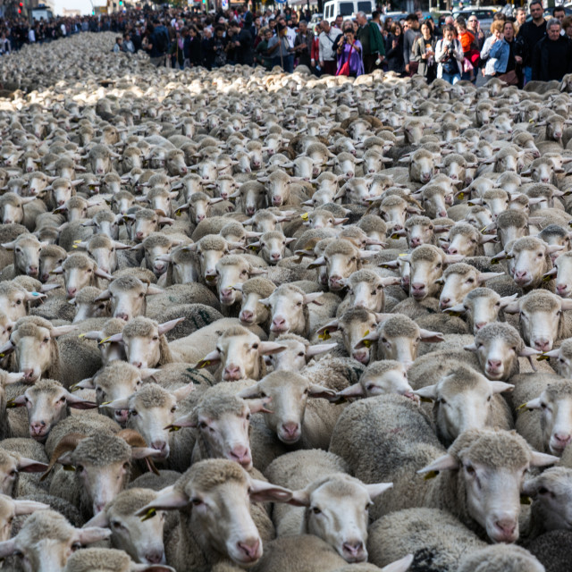 """Thousands sheep crossing the streets"" stock image"