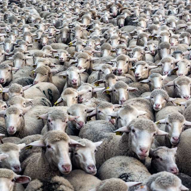 """Thousands sheep"" stock image"