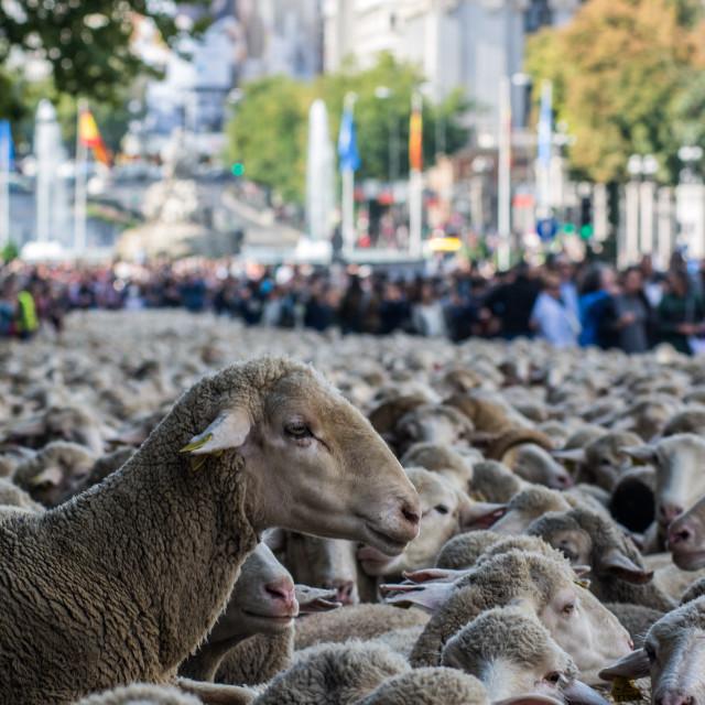 """Urban sheep"" stock image"