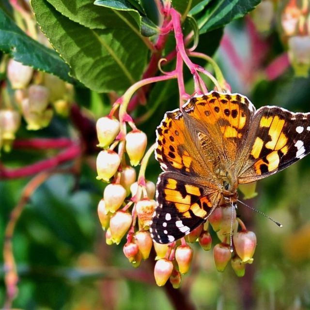 """""""Farfalla su infiorescenza di corbezzolo"""" stock image"""