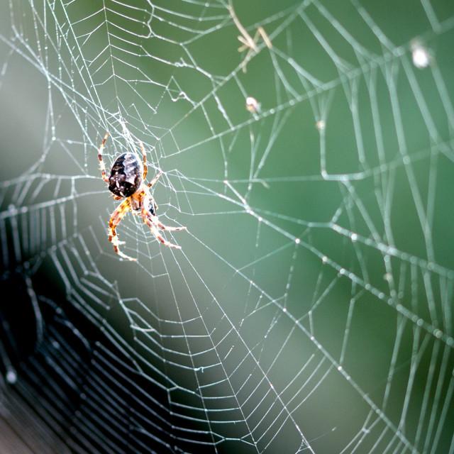 """Garden Spider in web"" stock image"