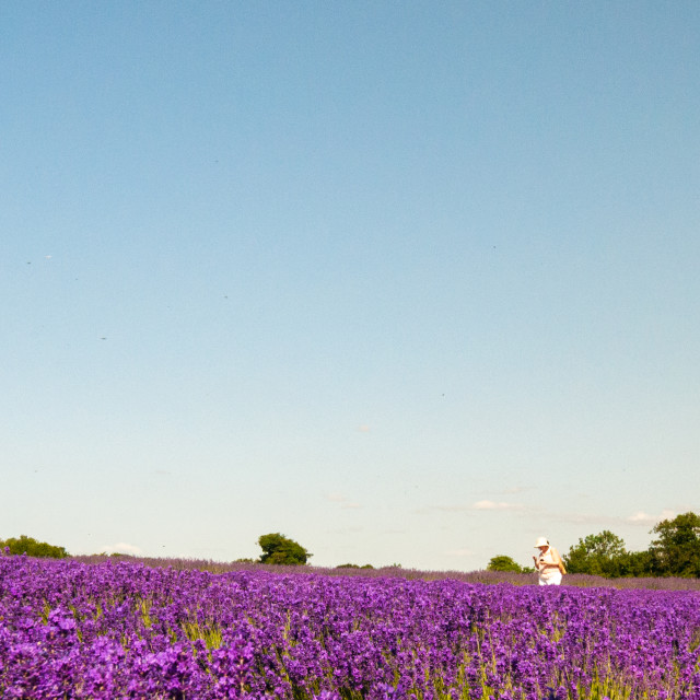 """Lavender Wondering"" stock image"
