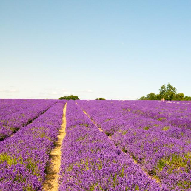 """Lavender Fields"" stock image"