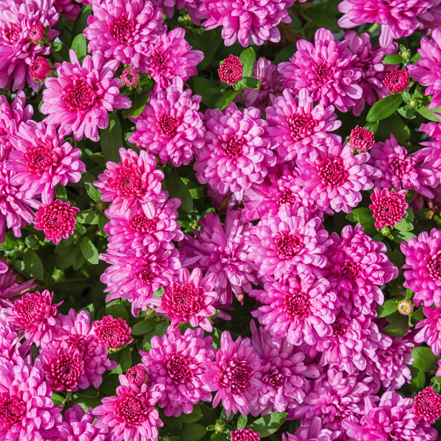 """Pink Mums or Chrysanthemums flower background"" stock image"