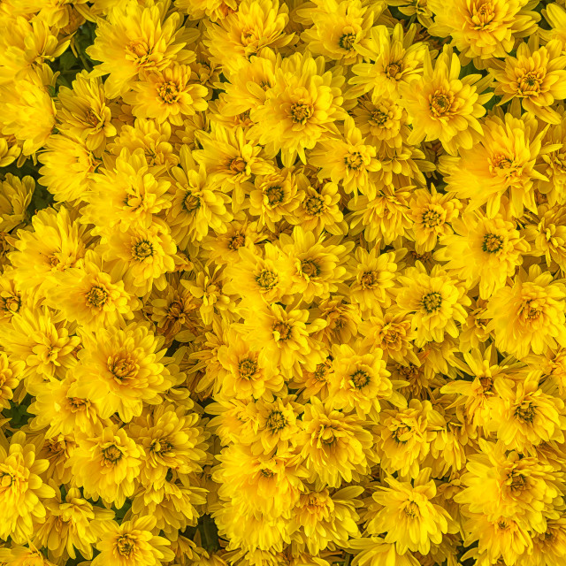 """Yellow Mums or Chrysanthemums flower background"" stock image"