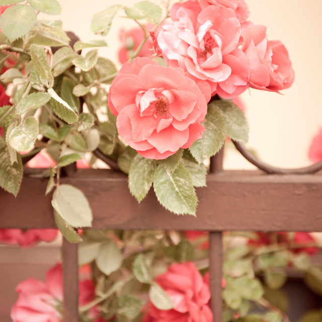 """Sepia roses flowers on fence"" stock image"