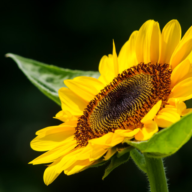 """""""A sunflower"""" stock image"""