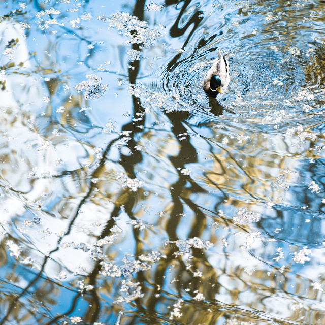 """Duck in water reflections abstract"" stock image"