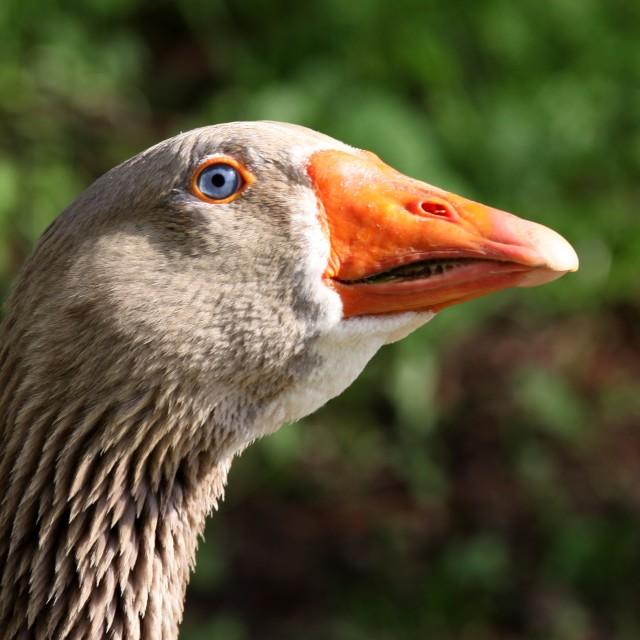 """Goose portrait"" stock image"