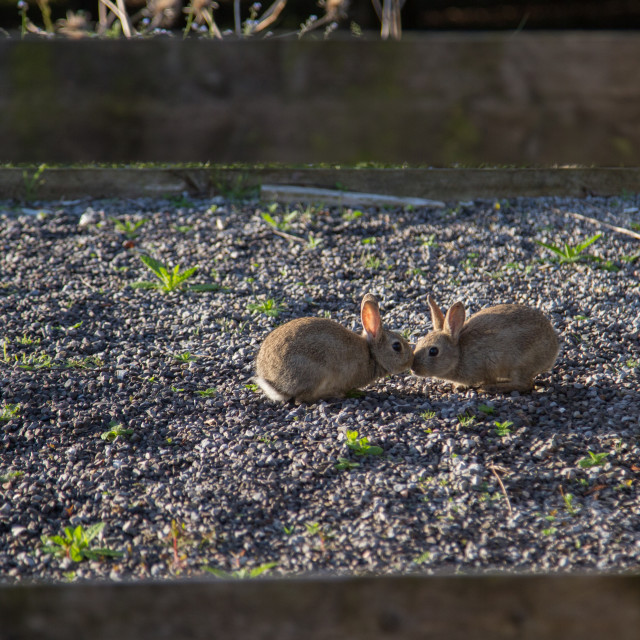 """Kissing rabbits at Centre Parcs"" stock image"