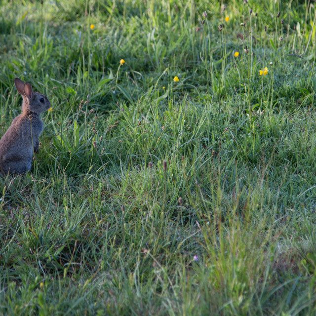 """Rabbit standing in the grass"" stock image"