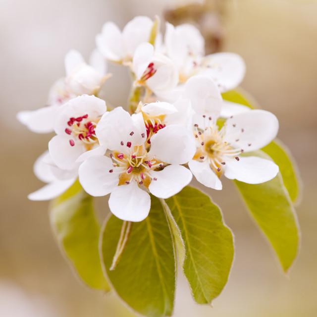 """White Pyrus blossoms macro"" stock image"