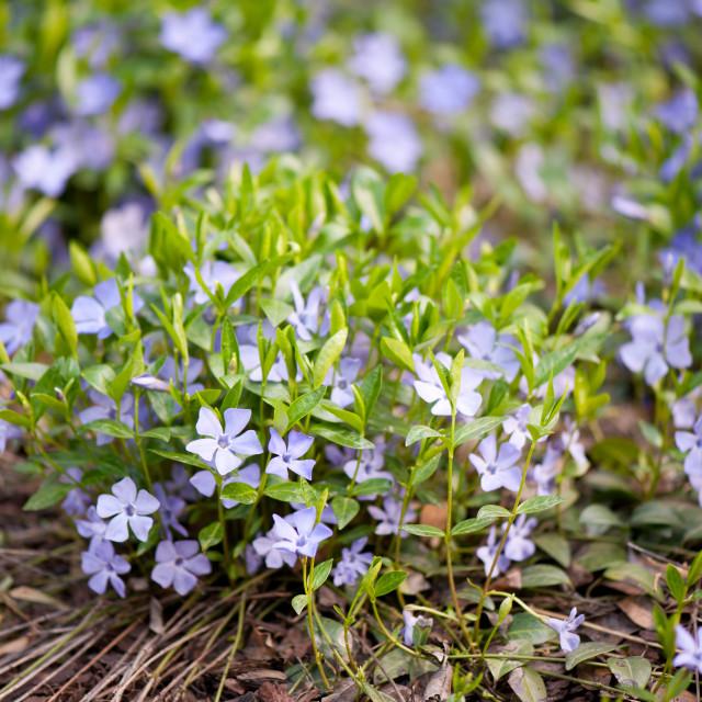 """""""Vinca violet purple clump"""" stock image"""