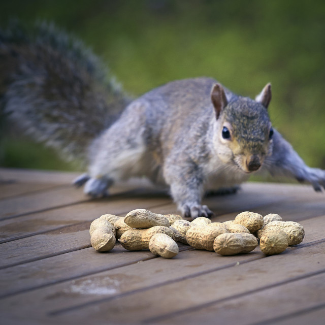 """""""Sneaky Squirrel"""" stock image"""