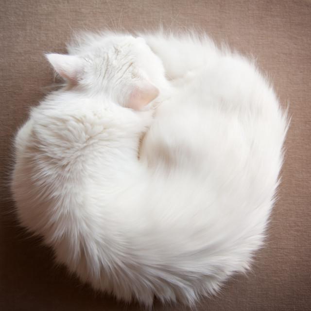 """Turkish Angora cat curled up"" stock image"