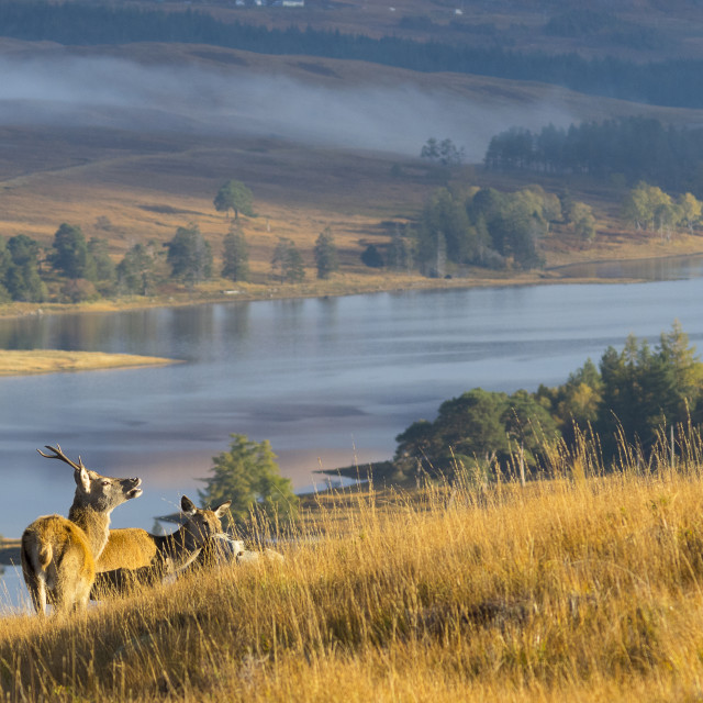 """Red Deer over Loch Tulla"" stock image"