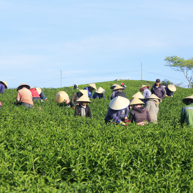 """Women with conical hat working on green tea plantation, Dalat, Vietnam"" stock image"