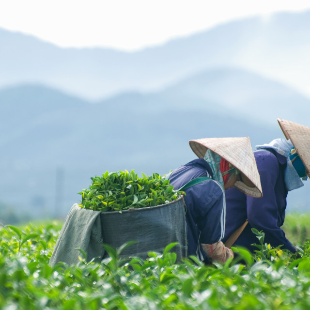 """Women with conical hat harvesting on green tea plantation in Bao Loc, Lam Dong, Vietnam"" stock image"