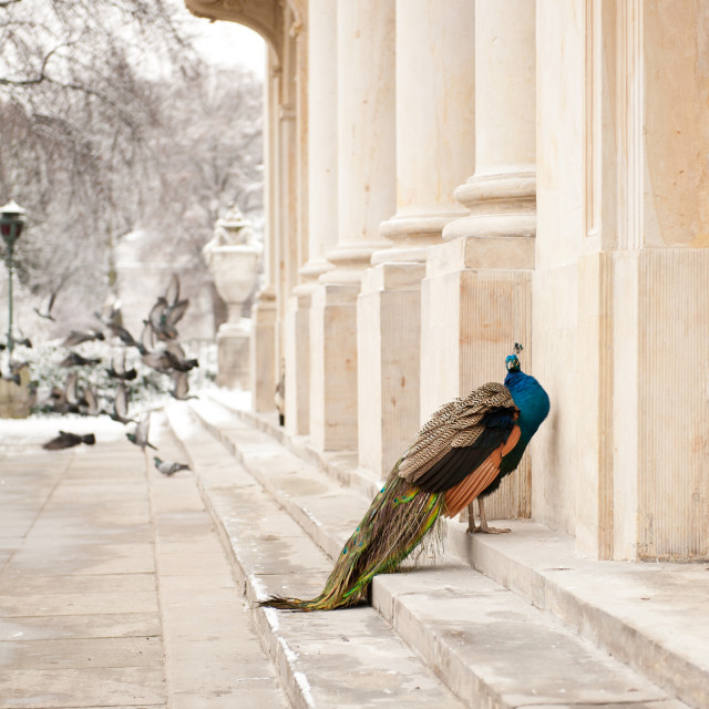 """Peacock in winter"" stock image"