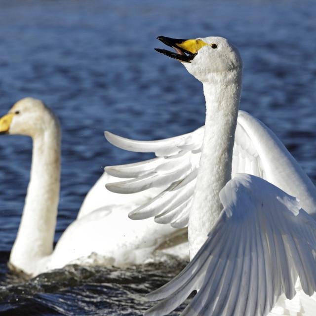 """Whooper Swan #01"" stock image"