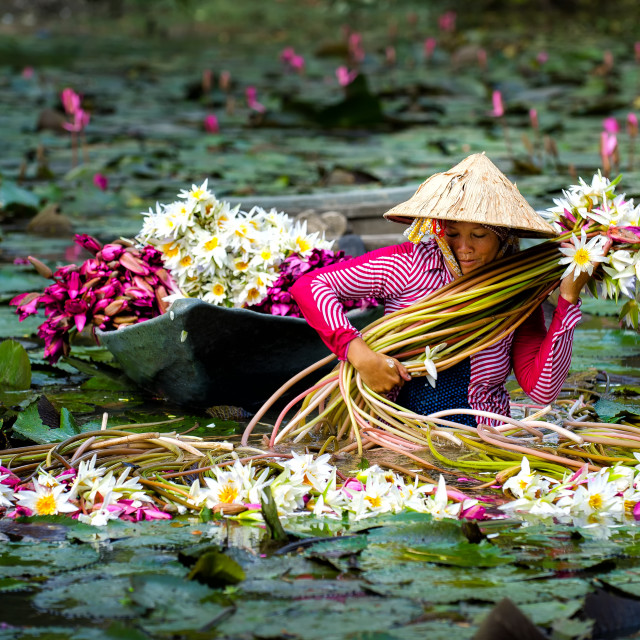 """harvest lily water"" stock image"