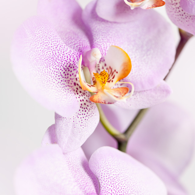 """""""Pink speckled Orchid blooming macro"""" stock image"""