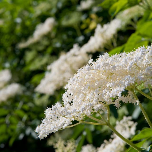 """""""Sambucus nigra white flowers"""" stock image"""