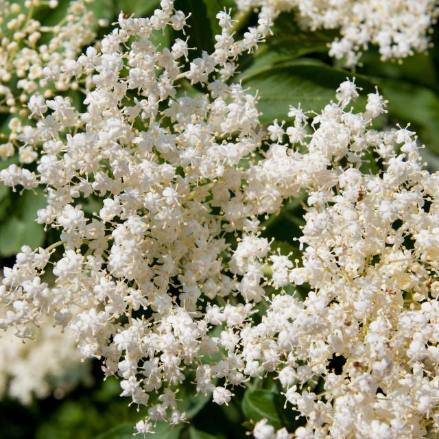 """""""Sambucus nigra white blooming"""" stock image"""