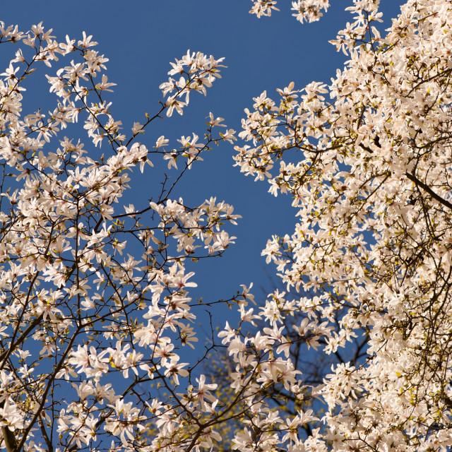"""Magnolia lushly flowering"" stock image"