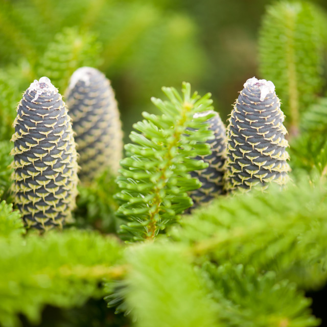 """Fir cones fresh twig shoots"" stock image"