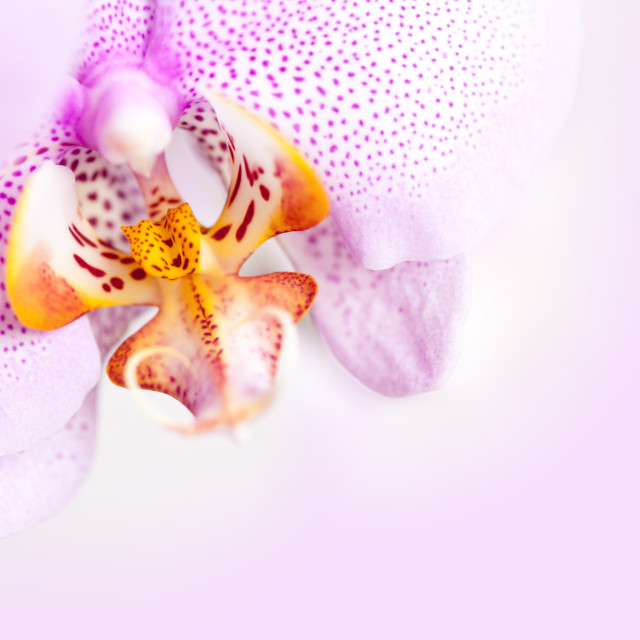 """Pink blotchy Orchid copyspace"" stock image"