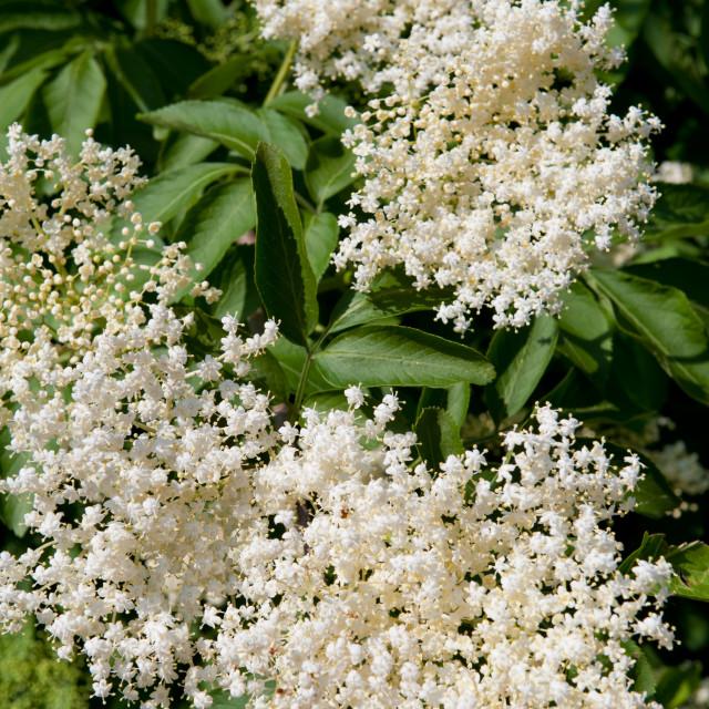 """Elder white blossoms closeup"" stock image"