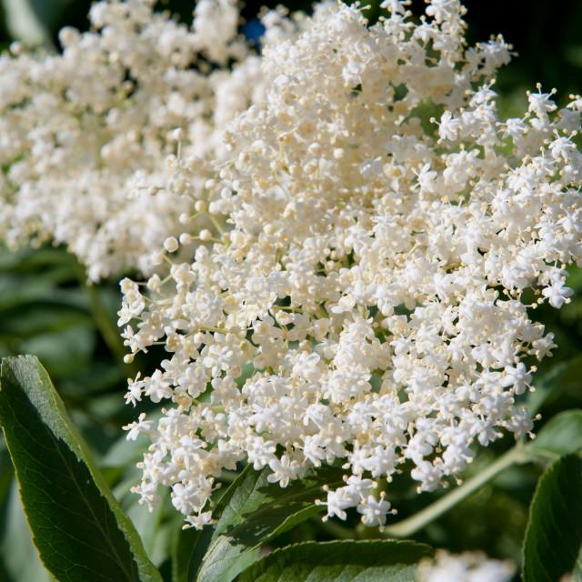 """Sambucus nigra white blossoms"" stock image"