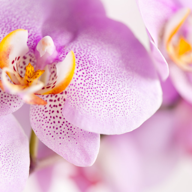 """""""Pink spotted Orchid blooming macro"""" stock image"""