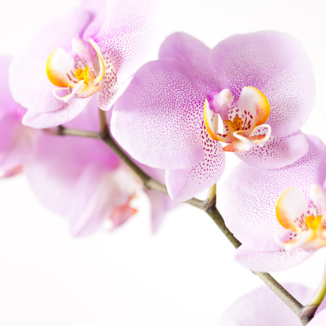 """""""Pink blotchy Orchid blossoms"""" stock image"""