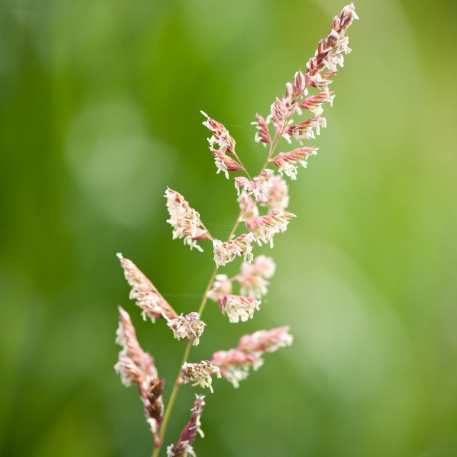"""Grass inflorescences and pollen"" stock image"
