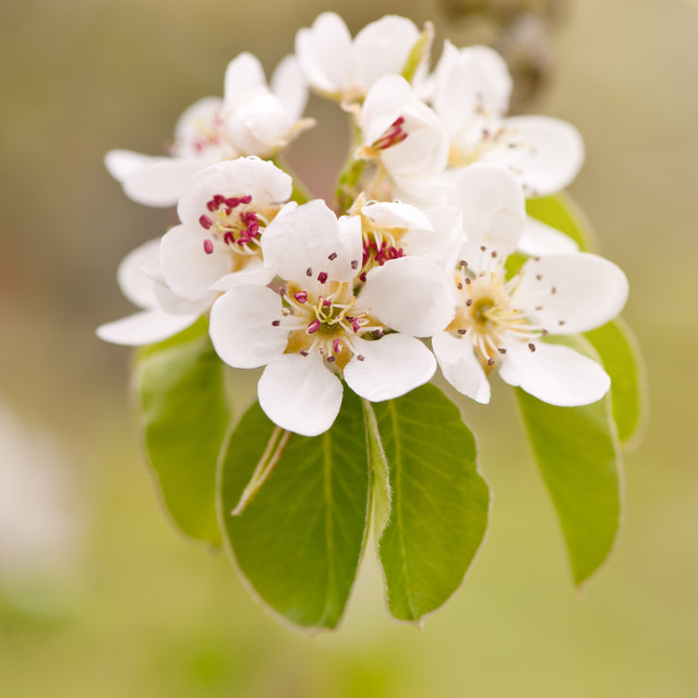 """""""White pear inflorescence detail"""" stock image"""