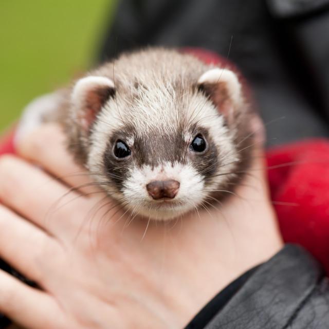 """Polecat ferret hybrid face"" stock image"