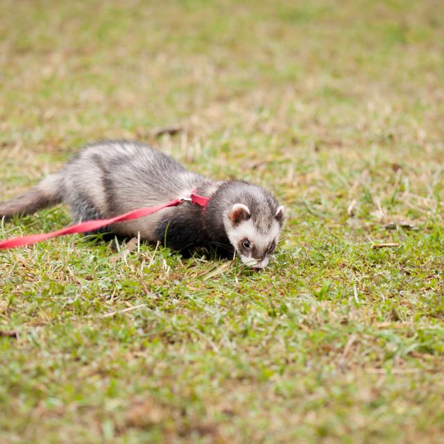 """Polecat ferret hybrid on grass"" stock image"