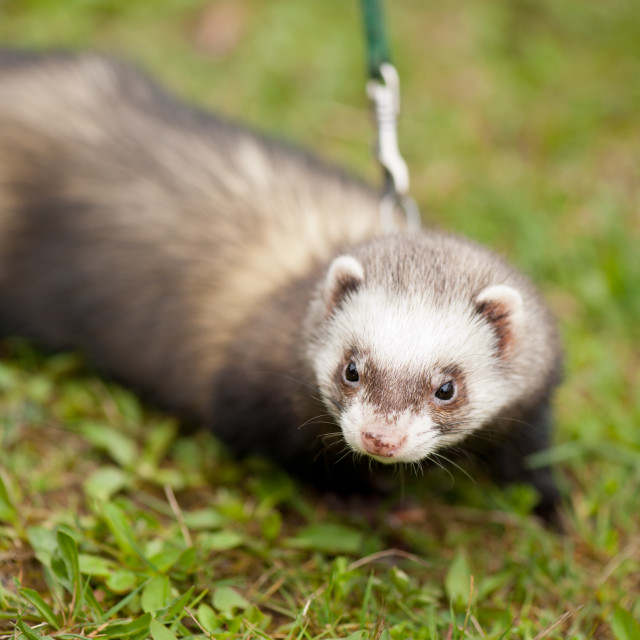 """Polecat ferret hybrid portrait"" stock image"