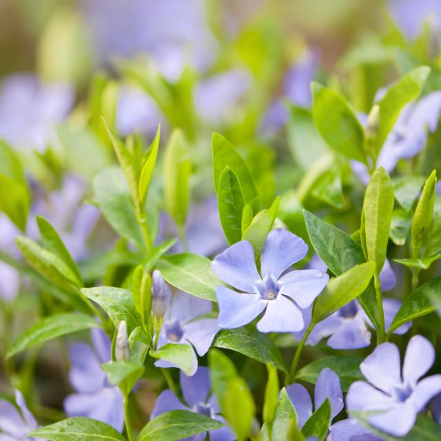 """Vinca flowers closeup"" stock image"