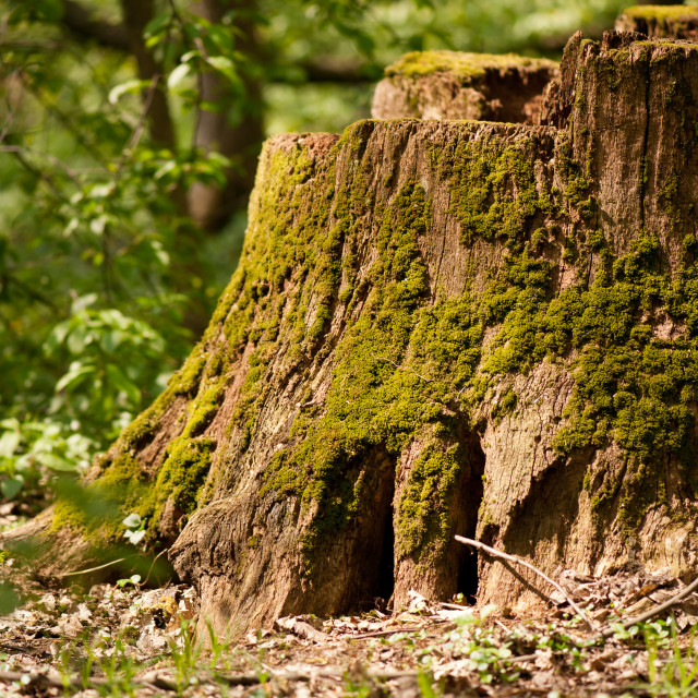 """Dead tree stump moss grown"" stock image"