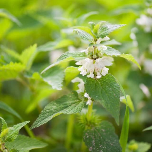 """""""Lamium album white flowers macro"""" stock image"""