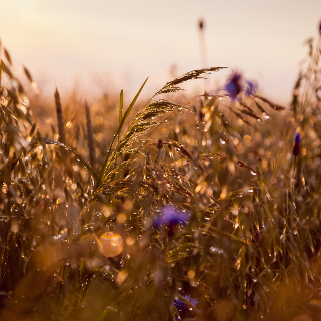 """Wet grass in sunset light"" stock image"