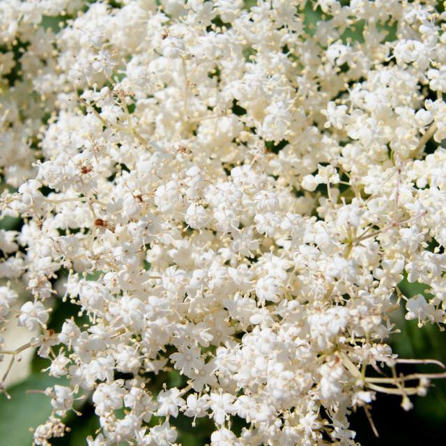 """""""Sambucus nigra blossoms macro"""" stock image"""