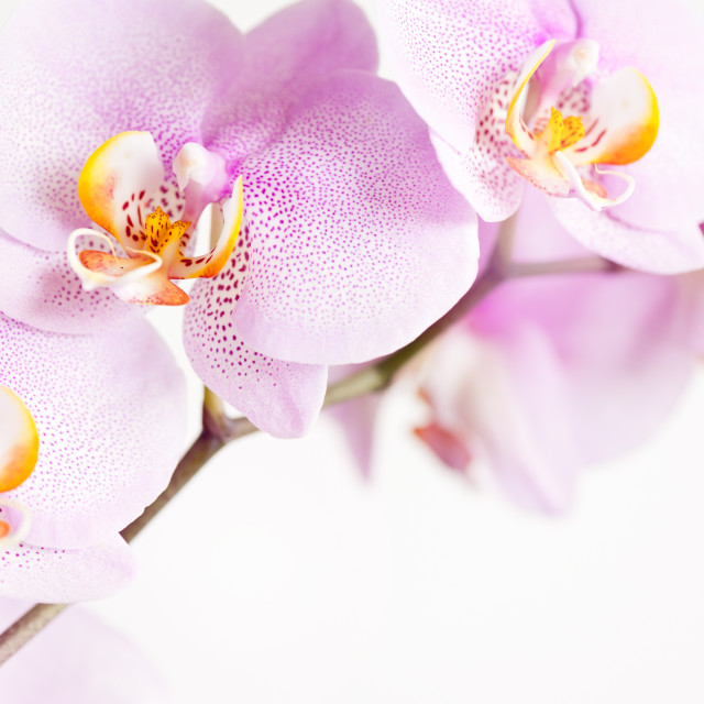 """""""Pink speckled Orchid flowers"""" stock image"""